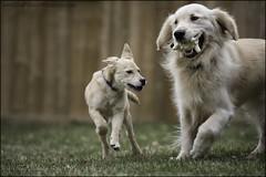 "16-52 ""meet Agnes"" (Dave (www.thePhotonWhisperer.com)) Tags: god goldenretriever golden puppy mutt mixedbreed agnes bruno 52weeksfordogs 52weeksforbruno dogversation"