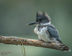 Belted Kingfisher (m) (Chris St. Michael) Tags: beltedkingfisher bird kingfisher animal hunter nature wildlife