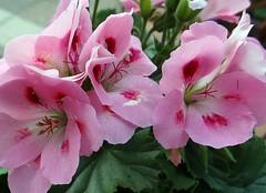 Geranie (Gartenzauber) Tags: doublefantasy floralfantasy