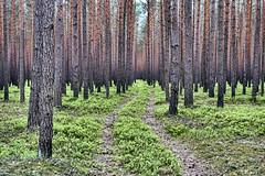 Mysterious forest (radimersky) Tags: woods wood drzewa las forest polska poland europa europe trees droga krajobraz landscape day dzień track path ścieżka sony dschx60 tajemnicze copmact camera silesia śląsk gimp 3840x2560 emptiness pustka