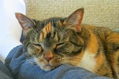 Gracie 8 April 2017 4080Ri 4x6 (edgarandron - Busy!) Tags: cat cats kitty kitties tabby tabbies cute feline gracie patchedtabby