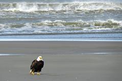 Beach Baldy (shesnuckinfuts) Tags: americanbaldeagle baldeagle haliaeetusleucocephalus oceanshoreswa shesnuckinfuts april2017 nature beach eagle bird pacificocean ocean wildlife