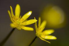 Mini-tournesols (Fabien Husslein) Tags: ficaria verna ficaire fausse renoncule fleur flower art nature bokeh macro printemps spring