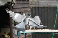 21 April 2017 (25) (AJ Yakstrangler) Tags: yakstrangler pigeon pigeons