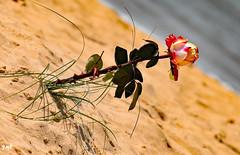 Rose des sables (Jean-marc17340) Tags: fleurs nature imagination composition couleurs colors art plage océan landscape