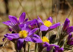 DSC02564_ (aleksey1971) Tags: siberia altai nature flowers spring сибирь алтай природа цветы весна