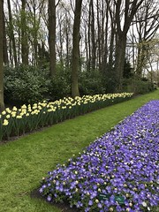 Keukenhof - Tulip Gardens (darrenboyj) Tags: keukenhof holland netherlands flowerbed flower blue daffodil attraction event yearly color colour
