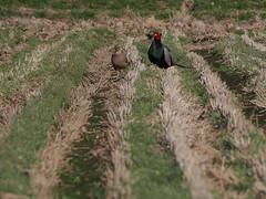 husband and wife (murozo) Tags: husband wife bird pheasant rice field spring nikaho akita japan 鳥 夫婦 キジ 田んぼ 春 にかほ 秋田 日本