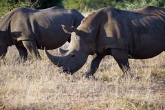 DSC05872 - KRUGER-PARK (HerryB) Tags: 2017 southafrica afrique afrika sar sonyalpha77 sonyalpha99 tamron alpha bechen fotos photos photography sony herryb mpumalanga gamedrive pirschfahrt 4x4 toyota busch bush kruger nationalpark krüger game wild rhino rhinozeros nashorn