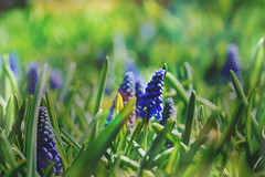At ground level (Wim van Bezouw) Tags: sony ilce7m2 plant nature spring bokeh flower blue muscari selectiveconceptualdof