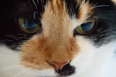 *** (donnicky) Tags: 50mm cat closeup colorful domesticanimal home indoors macro nopeople oneanimal pet portrait publicsec thinking лилу