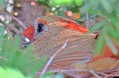 Female cardinal on her nest (Spudmaniac) Tags: cardinal nest