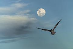 galápagos (DROSAN DEM) Tags: full moon luna llena pelican pelicano galapagos santa cruz ecuador bird ave pajaro cloud nube cielo sky