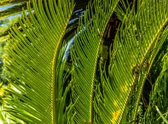Sago Palm (Thad Zajdowicz) Tags: zajdowicz pasadena california nortonsimonmuseum availablelight outdoor outside museum canon eos 5dmarkiii 5d3 dslr digital lightroom ef50mmf12lusm 50mm primelens plant flora palm nature frond leaf colour green color pattern texture garden foliage tropical usa sago