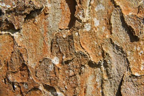 Écorce de Platanus xhispanica