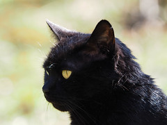 Wiosna Frühling Spring 2017 (arjuna_zbycho) Tags: wiosna frühling spring blackcat tuxedo tuxedocat kater hauskatze cat animal cute animals pets gato kitten feline kitty kittens pet tier haustier katzen gattini gatto chat cats kocio