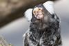 Tamarin at Longleat (daveashaw) Tags: longleat tamaron zoo nature