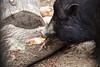 Saumäßig lecker (grundi1) Tags: sonya68 ilca68 zoo tiergarten herberstein steiermark styria tiere animals sus scrofa domestica duroc schwein pig sigma 1770 2845 dc macro sony alpha 68 f2845