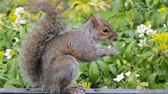 Squirrel in Park by Coventry Cathedral (marcnobbs) Tags: squirrel coventry animal wild wildlife
