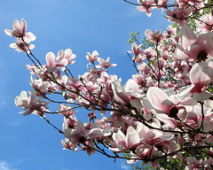 IMG_2112 (quirkyjazz) Tags: trees clouds spring lookingup magnolias blueskky