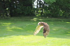 IMG_1815 (lisahud82) Tags: bird castle barn eagle hawk owl prey harris striped lavenham falconry peruvian hedingham