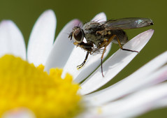 Fly on a daisy (Explored) (Leigh_Feaviour) Tags: flower macro yellow bug insect fly spring petal explore eat micro daisy pollen nikkor 105mm explored noikon