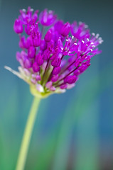 Allium (LabradorEars) Tags: flower macro purple globemaster allium tamron90mm ornamentalonion