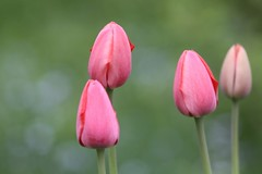 intermission with tulips (knitalatte11) Tags: garden spring tulips edgar bulbs homelife