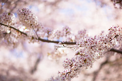 Cherry Blossoms (ejlazaga) Tags: pink toronto cherry blossoms 85mm 12
