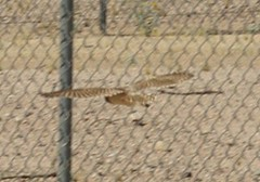 Burrowing Owls at PGM (pueblograndemuseum) Tags: park four waters pueblograndemuseum burrowing