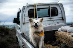 Riding on the Back of a Pickup Truck (moaan) Tags: dog smile smiling walking dof bokeh walk utata aomori moviestar akita ajigasawa  famousdog 2013 akitabreed   wasao canoneos5dmarkiii ef70200mmf28lisiiusm