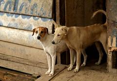 Mazán Dogs (cowyeow) Tags: street travel dog cute dogs peru latinamerica southamerica wall town funny candid funnydog iquitos peruvian mazan mazán