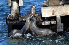 Sparring seals (Roving I) Tags: ocean sea nature wildlife australia victoria sparring queenscliff chinamanshat furseals