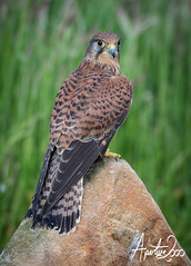 Female Kestrel (TheApertureMan) Tags: birds falcon raptors birdsofprey falconry sionhall sionhallfalconrycentre