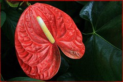 Ahhh, the lovely boy flower! (LindaJ55) Tags: plant flower nature beauty canon blossoms tropical bloom anthurium