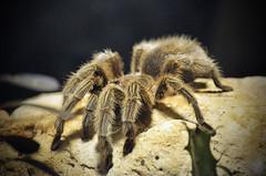 Mi Pesadilla! (Fotomondeo) Tags: espaa valencia zoo spider spain nikon alicante tarantula araa benidorm terranatura nikond7000