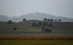 hill and treescape (dustaway) Tags: trees winter nature rain landscape countryside scenery day cattle australia pasture nsw australianlandscape treescape grazing cedarpoint lateafternoon mutedcolours ruralaustralia northernrivers rurallandscape richmondvalley australianweather