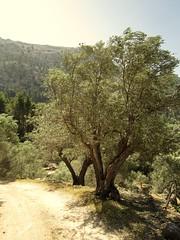 olive trees are pretty (Genista) Tags: holiday island spain mediterranean hiking urlaub insel olives mallorca hotashell balearen olivetrees wanderung scirocco balearicislands maddogsandenglishmen oliven mittelmeer olivenbume fornalutx lbaum puigmajor verdursten hitzschlag valldesller irreaufdenstrassen talvonsller