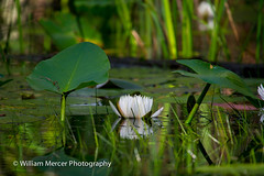 "The Loaner (WilliamMercerPhotography) Tags: wild nature water animal outdoors lily wildlife south mercer fragrant okefenokee nymphaea okefenokeeswamp odorata ""nikon ""sigma photography"" ""william d3s"" 50500"" fragrantwaterlilynymphaeaodorata southernhobbyist"