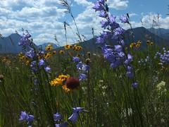 Ha Ling Summit Hike 26 Drive home, wildflowers near highway (benlarhome) Tags: mountain canada mountains rockies hiking hike alberta rockymountain hiker wildflower canmore popularhike