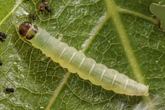 Diurnea fagella (Chimabachidae), antepenultimate instar (Franziska Bauer) Tags: moth caterpillar birch falter larva motte microlepidoptera gelechioidea micromoth diurneafagella europeanmoth chimabachidae