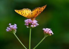 Argyreus hyperbius (myu-myu) Tags: nature japan butterfly insect nikon ngc npc mygarden   verbenabonariensis  argyreushyperbius  d300s aiafsnikkor300mmf4difed