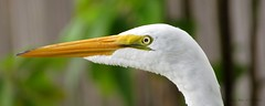 Great White Egret Portrait (Gary Helm) Tags: portrait bird nature water birds animals closeup canon landscape outside fishing backyard florida wildlife c landed greatwhiteegret flew centralflorida polkcounty lakewales lookingoutmybackdoor lakepierce