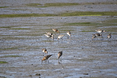 Waders - 3 (tame_alien) Tags: uk england bird water animal river unitedkingdom waterbird isleofwight riverbank watercourse freshwater shorebird wader aquaticbird riveryar