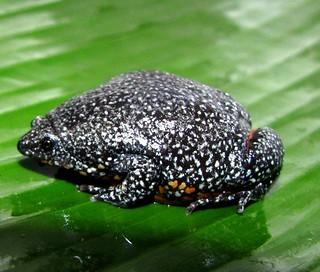 Relictivomer pearsei / Colombian Plump Frog-Falan — en Tolú, Sucre