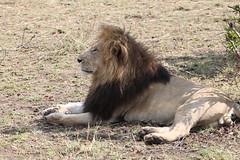 The lion king (apardavila) Tags: africa kenya wildlife safari mara maasai natgeo