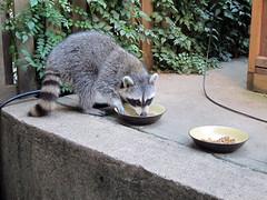 A visit from the raccoon (Jimmy Legs) Tags: cats backyard raccoon tnr bushwick feral