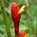 "Flowering Ginger Stalk (Costus sp, Costaceae) • <a style=""font-size:0.8em;"" href=""http://www.flickr.com/photos/101688182@N03/9834589073/"" target=""_blank"">View on Flickr</a>"