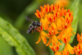 Leaf-Cutting Bee - megachile