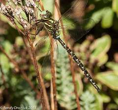 End of the season (rdroniuk) Tags: dragonflies dragonfly insects insectes libellule darner shadowdarner aeshnaumbrosa shadowdarnerdragonfly